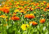 Ringelblumen auf dem Feld