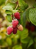 Raspberries on the plant