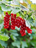 Redcurrants on a branch