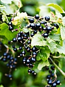 Blackcurrants on the bush