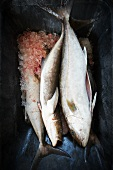 Cobia and Amberjack Fish