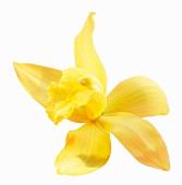 Vanilla blossom
