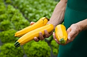 man harvesting yellow zucchini