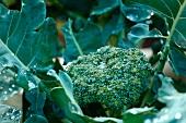 Broccoli Growing in a Garden; Wet