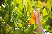 Meyer Lemons Being Picked From a Tree