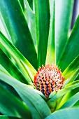 Baby Pineapple Plant