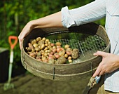 A garden sieve filled with potatoes