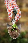 Hand hält Kelle mit Erde und Jungpflanze