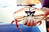 Fisherman Holding a Fresh Captured Rock Crab; Fishermans Warf Santa Barbara, California