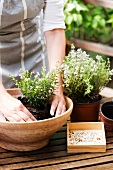 Planting herbs in bowl