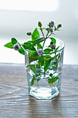 Fresh flowering mint in a glass of water
