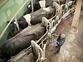 Landwirt schliesst Milchkühe an Milchmelkmaschine an