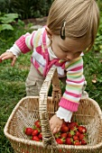 A Young Child Reaching into a Basket of Freshly Picked Strawberries