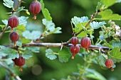 A gooseberry branch with ripe small gooseberries and green leaves, in the background a summer plant with delicate purple flowers