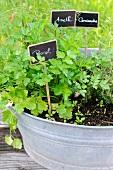 Herbs growing in a zinc tub