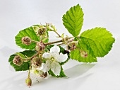 A sprig of raspberry flowers on a white surface