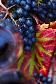 Red grapes, red wine and autumnal leaves