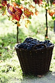 A basket of red wine grapes in front of vines
