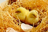 Two chicks next to egg shells in straw nest