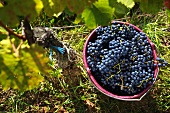 Grape harvesting in Burgenland: A bucket of Blaufränkisch grapes