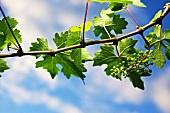 A vine in spring