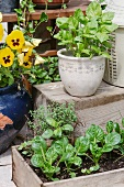 Pansies and fresh herbs on terrace
