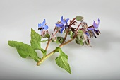 Borage with blue flowers (Borago officinalis)