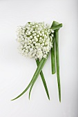 An onion flower onion greens (Allium cepa)
