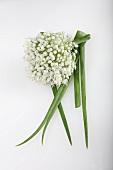 Zwiebelblüte und Zwiebellauch (Allium cepa)