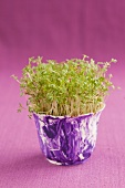 Fresh cress in a purple pot