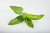 Moroccan mint (Mentha spicata)