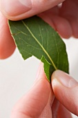 The edges of a bay leaf being torn