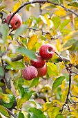 Red apples in autumnal tree