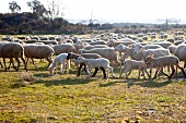 Sheep in a field (Portugal)