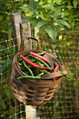 Red and Green Cayenne Peppers in a Basket in a Garden
