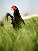A Rooster in Tall Grass