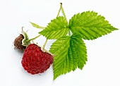 Ripe and unripe raspberries on a sprig with leaves