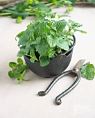 A peppermint plant in a pot