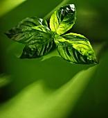 Basilikumblätter auf grünem Untergrund