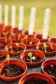 Saplings in flower pots