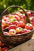 Frisch geerntete Äpfel im Sonnenlicht