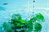 Basil in water