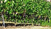 Purple grapes on a vine in the sun