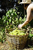 A woman with a large wicker basket harvesting grapes