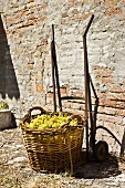 A basket of Pignoletto grapes in a countryside setting