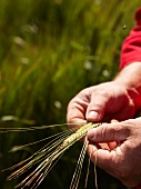 Hands checking ears of barley