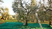 Frau bei der Olivenernte, Umbrien, Italien