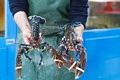 A man holding live lobsters