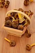 Fresh chanterelle mushrooms in a wooden basket