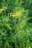 A dill plant